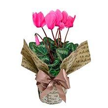Ciclame Pink Para Dizer Que Te Adoro