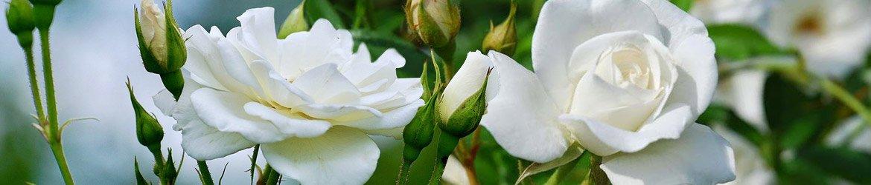 Buquês de Rosas Brancas