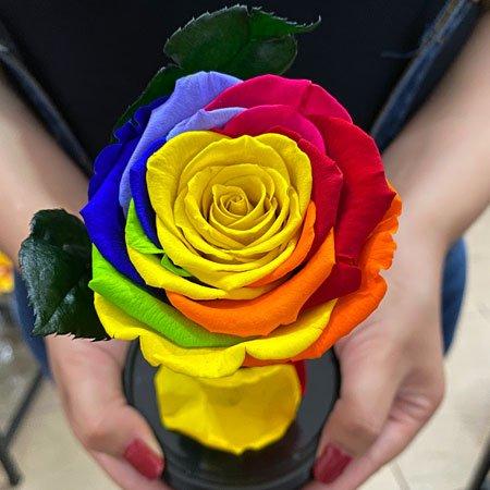 Rosa Colorida com durabilidade de até 2 anos