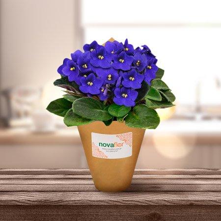 Violetas plantadas para Dia dos Namorados