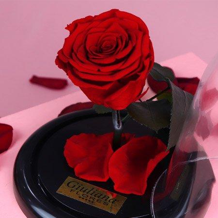 Rosa encantada vermelha na cúpula