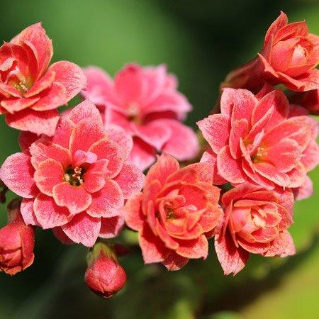 Flor da fortuna vermelha