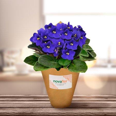 Violeta no vaso Nova Flor