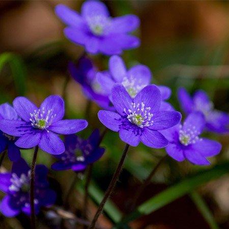 Linda pétala de violeta